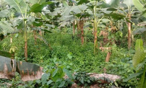 Parcelle de cacaoyers associés au bananier plantain à Ebondji 8 mois après plantation
